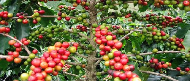 Где растет кофе?