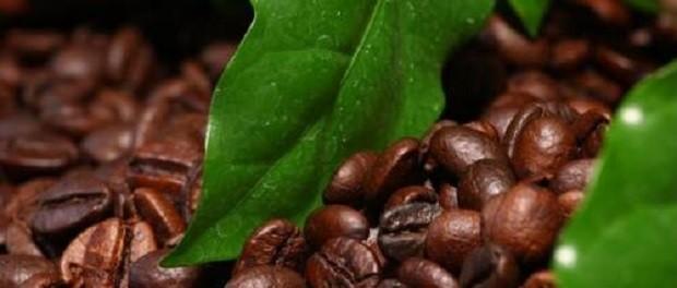 Сорта кофе Робуста