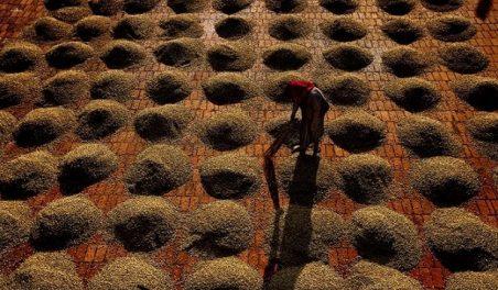 Кофейные зерна на Kumbrikhan плантации в Индии