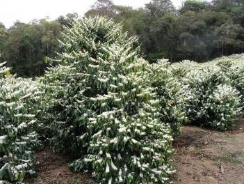 Аравийское кофейное дерево