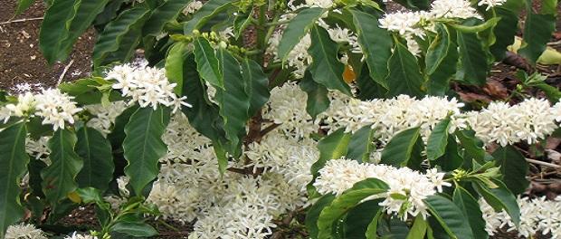 Растение кофе арабика (Arabica)